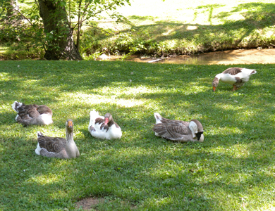 geese sitting in the grass